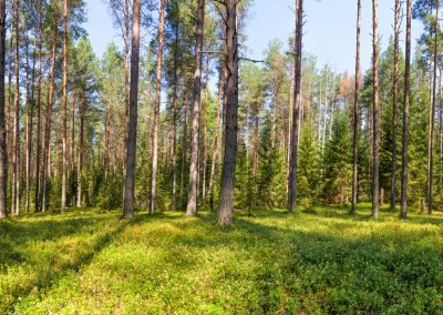 Summer pine forest panorama