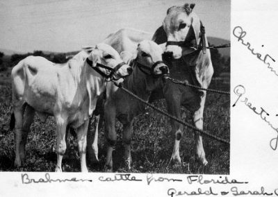 scj 's brahma cattle 1947 xmas card to ed and lucia Wentworth